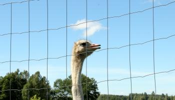 """""""Больше не экзотика"""": как живётся страусам в Латвии?"""