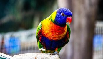 Mājas mīlulis - papagailis: kā patiesi jūtas lielais putns telpās