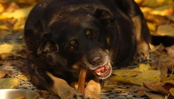 Pētījumi par dzīvnieku pārtikas saistību un barības vada dilatāciju suņiem