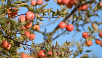 Pētījums par pesticīdu atliekvielām Latvijā audzētos ābolos, burkānos un kartupeļos