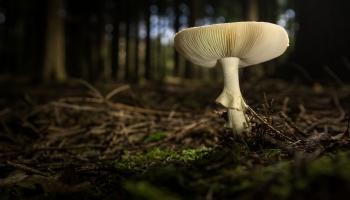 Cмотри, что у тебя в лукошке. Съедобные и ядовитые грибы Латвии