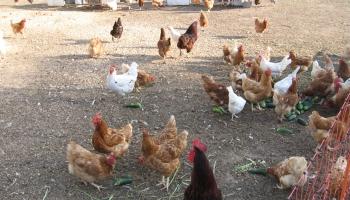 Centrāleiropā putnu gripas uzliesmojums. Kādi drošības pasākumi jāveic Latvijā?