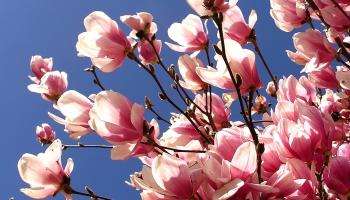 Dienas apskats. Klāt ir magnoliju pilnzieda laiks LU botāniskajā dārzā