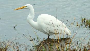 Baltais gārnis – laba zīme