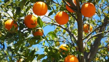 Klimats kļūst arvien siltāks. Tomēr Latvijā nevarēs audzēt apelsīnus un olīvas