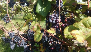 Zīmols un leģenda. Stāsts par Latvijas vīnkopību