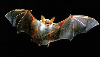 Sikspārņi - vienīgie lidojošie zīdītāji