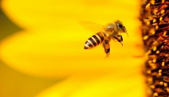 На этой неделе отмечается Международный день пчел
