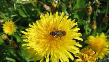 ES turpina diskutēt par pesticīdu ierobežojumiem saistībā ar bišu aizsardzību
