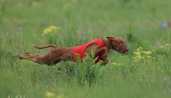 Школа для собак. Курсинг или Искусственная охота