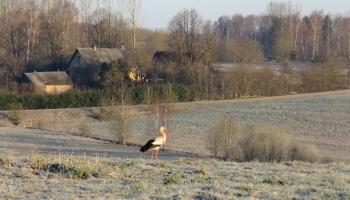 Putnu migrācija rudenī: Tie, kuri ziemo tuvāk, vēl nesteidzas aizlidot
