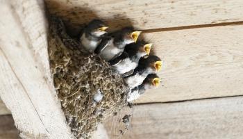Пернатый сквоттинг: в нашем доме поселился замечательный сосед