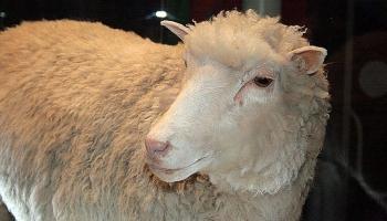 14. februāris. Zinātnieki iemidzina pirmo klonēto aitu Dolliju