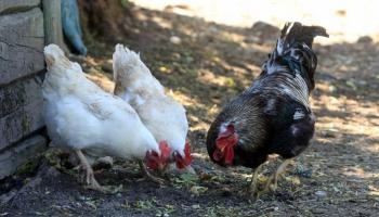 Откуда в Латвии зимой птичий грипп и что нам об этом нужно знать?