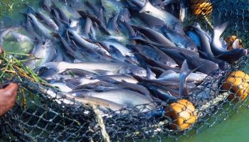 """Akvakultūras jeb kā """"top"""" zivis zivjaudzētavās"""