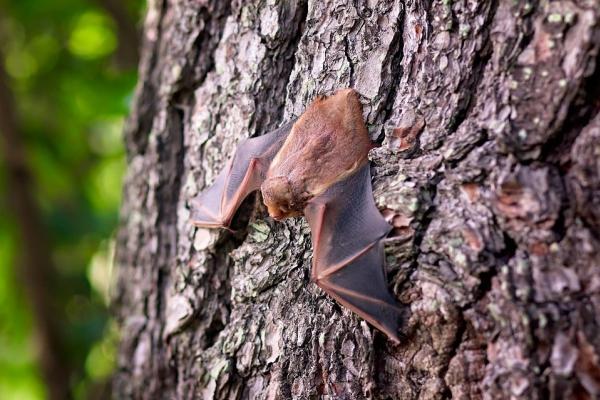 Pētnieks: Vainot sikspārņus Covid-19 izplatībā ir pārspīlēti un tendenciozi