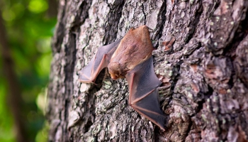 Гунарс Петерсонс: большинство мифов о летучих мышах - от незнания