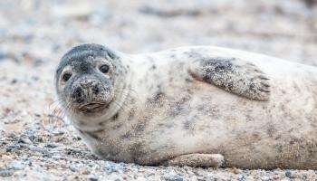 Эксперимент: латвийским рыбакам позволят стрелять в тюленей