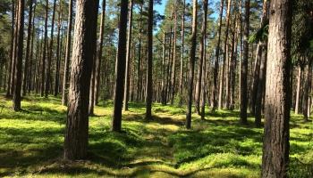 Šķeldas un koksnes cenas pēc vējgāzēm