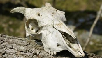 Dzīvnieku kauli arheoloģiskajos izrakumos. Zooarheologu pētījumi Latvijā