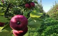 Ābolu audzētājs Kurzemē: Samazinātās 5% PVN likme augļiem un dārzeņiem jāsaglabā