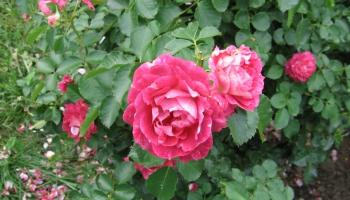 """Andrejs Upīts """"Rožu slepkava"""". 1. daļa"""