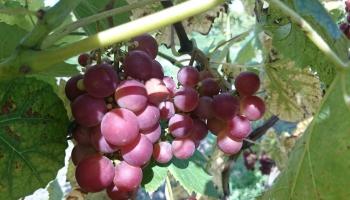 Latvijas vīnogas tavos virtuves eksperimentos