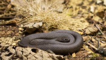 Vai zini, kāda ir Jāņa Poruka saistība ar čūskām?