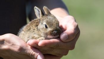Вислоухий друг: кролик в городской квартире