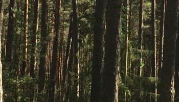 """VAS """"Latvijas valsts meži"""" mežos nevar cirst vairāk nekā noteikusi valdība"""