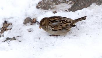 Дилемма бердвотчера: кормить зимой птиц в городе или нет?