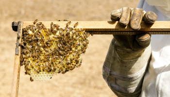 Масштабное сокращение популяции пчел – в чем причина?