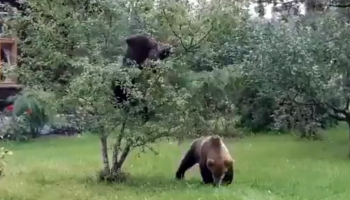 Медведи-хулиганы из Валки: чем закончилось переселение?