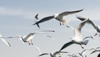 Рижские чайки: агрессоры и вредители или санитары большого города?