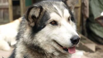 Kamanu suņi - haskiji un malamuti