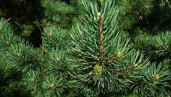 Зеленая аптека зимнего леса: хвоя и кора