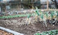 Dārza darbi jūnija sākumā: pēc bagātīgā lietus sastādīto vajadzētu mēslot