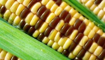 ГМО в Латвии: полный запрет невозможен, но будут штрафы