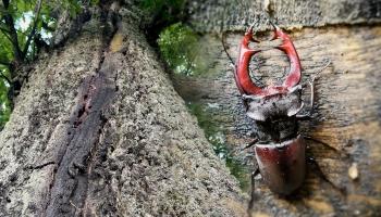 В Латвии обнаружен редчайший жук-олень