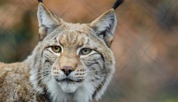Рысь: хищник, который нуждается в защите
