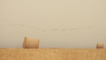 Kur nakšņo migrējošās zosis? iespējas samazināt izmetamo mantu lērumu