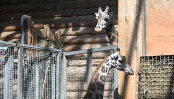 Rīgas Zooloģiskajā dārzā no Austrijas sagaidīta draudzene žirafu puisim Kimi