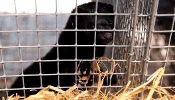 Dzīvnieku labturības prasības un to ievērošana Latvijā
