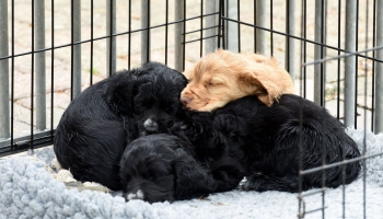 Daudziem pandēmijas laikā neapdomīgi iegādātiem suņiem nākas meklēt jaunas mājas