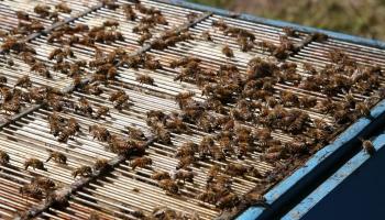 Biškopība Nīgrandes apkārtnē