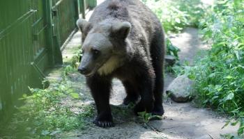 Latvijā parādās aizvien vairāk lāču