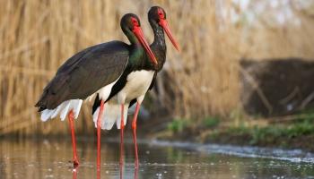 Melnais stārķis - simbols sugām, kuru skaists strauji sarūk Latvijā