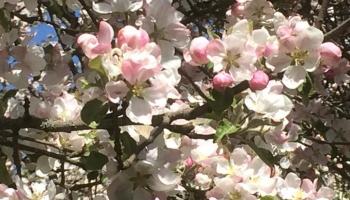 Dārza darbi: ābeles, plūmes, ķirši...