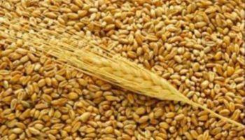 Latvijā audzētie graudi tiek vesti ārā arī caur Liepājas ostu