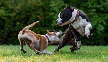 Liels uzreiz nenozīmē - nikns: kas jāzina par suņu agresivitāti